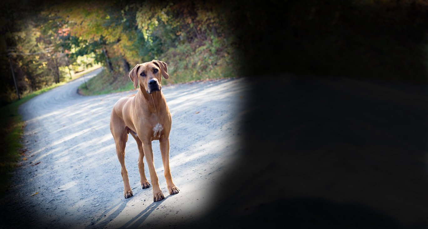 Beautiful Rhodesian Ridgeback image for homepage the Canine Health Foundation slider