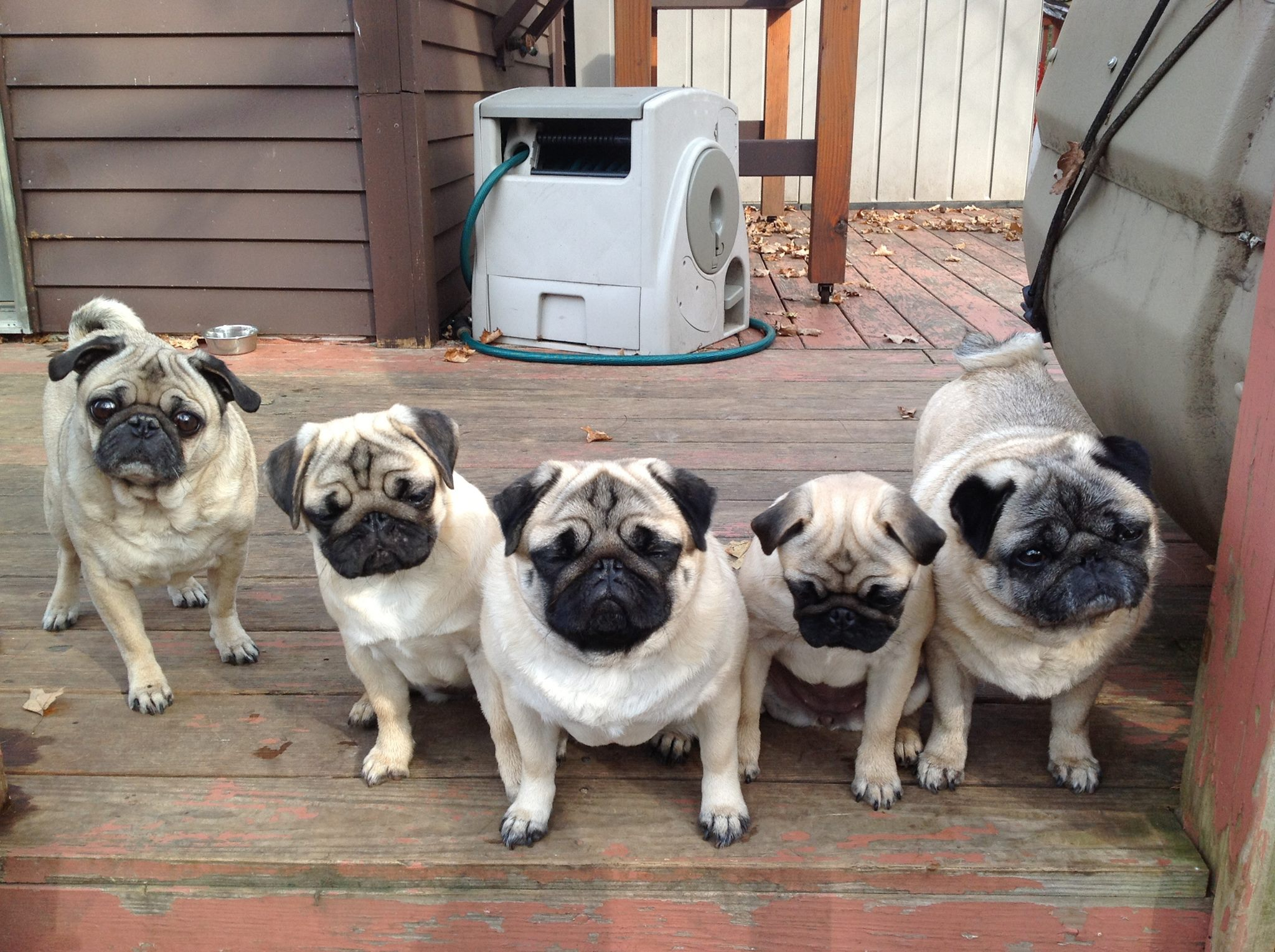 Five Pugs in a row