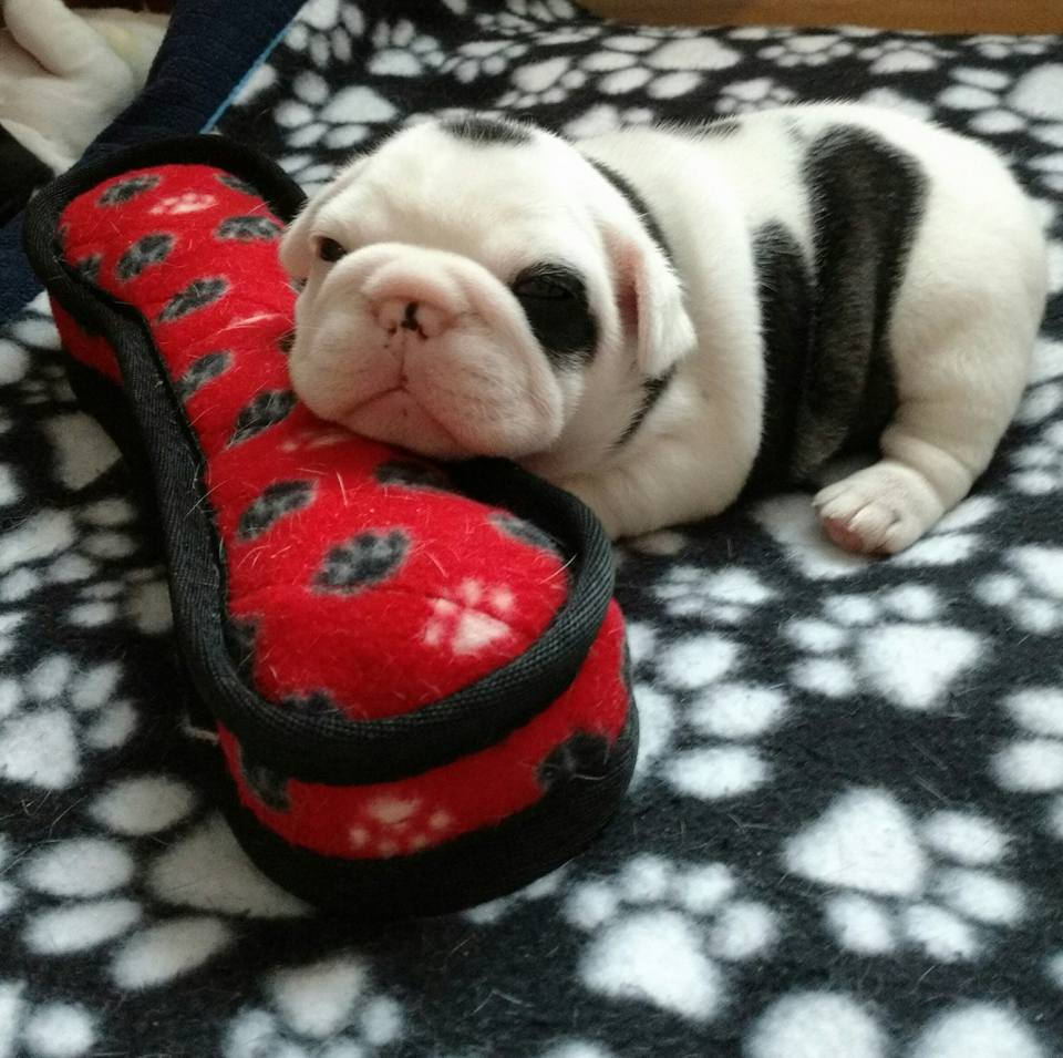 Very young French Bulldog pup
