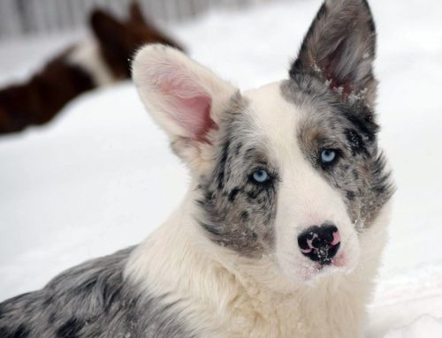 Winter Care for Canines