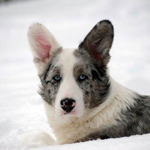 Snowy Cardigan Corgi
