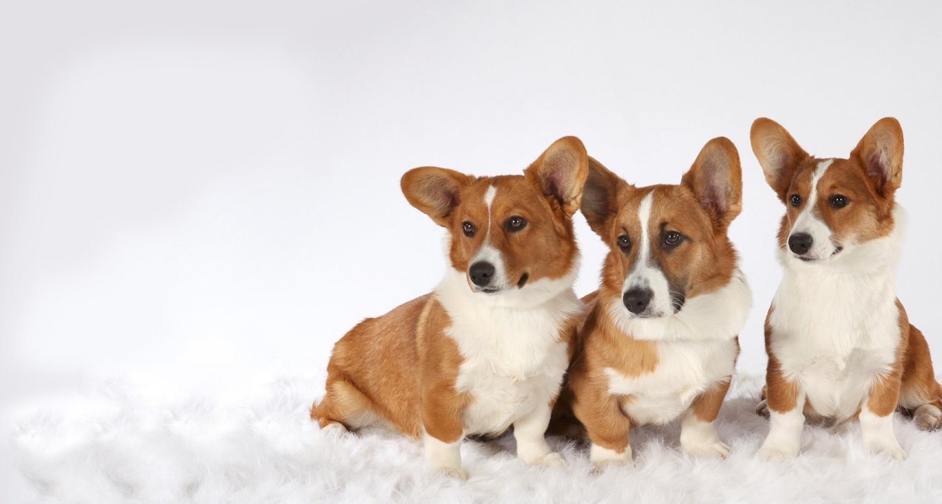3 cute corgis for homepage slider 2